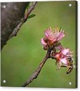 Bee On Peach Bloom Acrylic Print