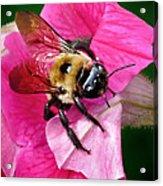 Bee On Petunia Acrylic Print