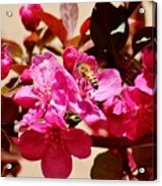 Bee On Pink Blossoms 031015aa Acrylic Print