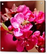 Bee On Pink Blossoms 031015ab Acrylic Print
