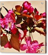 Bee On Pink Blossoms 031015ac Acrylic Print