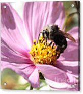 Bee On Pink Cosmos Acrylic Print