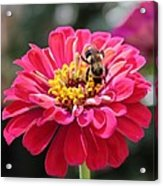 Bee On Pink Flower Acrylic Print