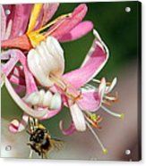 Bee On Pink Honeysuckle Acrylic Print