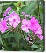 Bee On Pink Phlox Acrylic Print