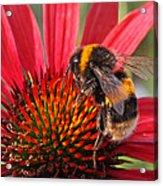 Bee On Red Coneflower 2 Acrylic Print