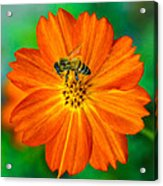 Bee On The Orange Cosmos 2 Acrylic Print