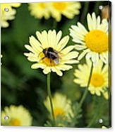 Bee On Yellow Acrylic Print