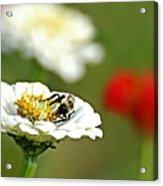 Bee Red-y Acrylic Print