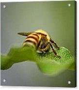Bee Still Acrylic Print