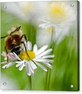 Bee The Daisy Acrylic Print