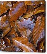 Beech (fagus Sp.) Leaves Acrylic Print
