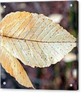 Beech Leaf In Winter Acrylic Print