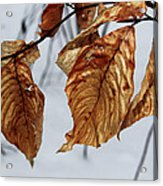 Beech Leaves Acrylic Print