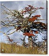 Beech Tree, Chile Acrylic Print