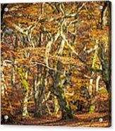 Beech Tree Group In Autumn Light Acrylic Print