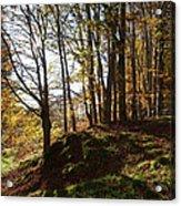 Beech Trees - Autumn Acrylic Print