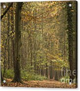 Beech Wood Walk Acrylic Print