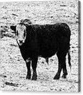 Beef Bandit Acrylic Print