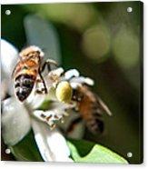 Bee's Acrylic Print
