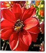 Bee's Dahlia Delight Acrylic Print