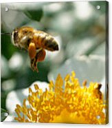 Bee's Feet Acrylic Print