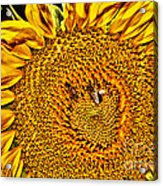 Bees On Sunflower Hdr Acrylic Print