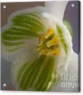 Bee's View Of A Snowdrop Acrylic Print