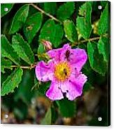 Beetle And Fly On Wild Rose Acrylic Print