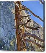 Beetle Barren Pine Acrylic Print
