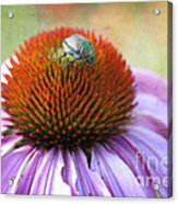 Beetle Bug Acrylic Print