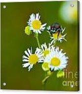 Beetle Life Acrylic Print