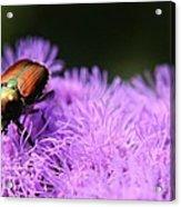 Beetle On A Flower Acrylic Print