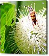 Beetle On Buttonbush Acrylic Print