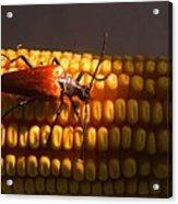 Beetle On Corn Ear Acrylic Print