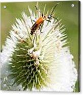 Beetle On White Spiky Wild Flower Acrylic Print