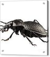 Beetle Species Carabus Coriaceus Acrylic Print