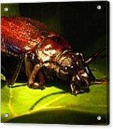 Beetle With Powerful Mandibles Acrylic Print