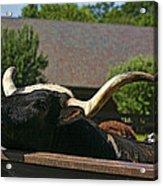 Begging Cow Acrylic Print