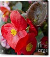 Begonia 20140706-1 Acrylic Print