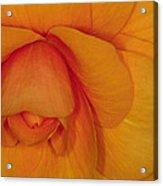 Begonia 3 Acrylic Print