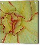 Begonia 4 Acrylic Print