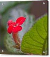 Episcia Flower Acrylic Print