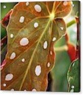 Begonia Maculata 'wightii' Acrylic Print