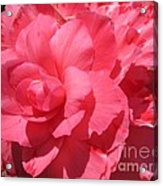 Begonia Named Non-stop Pink Acrylic Print