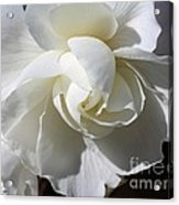 Begonia Named Nonstop Apple Blossom Acrylic Print