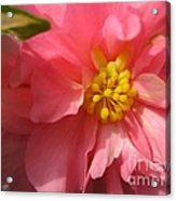 Begonia Named Nonstop Pink Acrylic Print