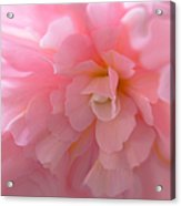 Begonia Flower Passion Pink Acrylic Print