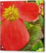 Begonia Volumia Acrylic Print