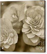 Begonias In Sepia Acrylic Print